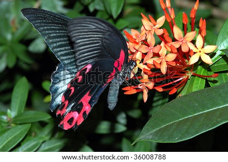 Red and black butterfly gathering nectar from flower