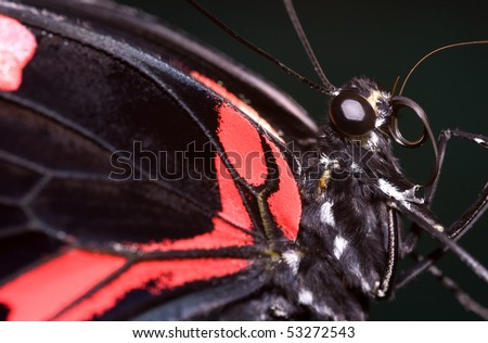 Red and black butterfly portrait - stock photo