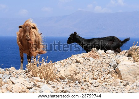Red and black goat - stock photo