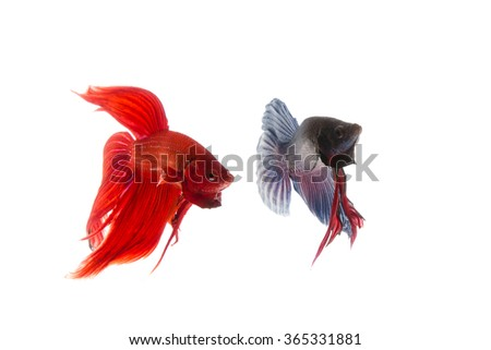 Red and blue betta fish, siamese fighting fish isolated on white background