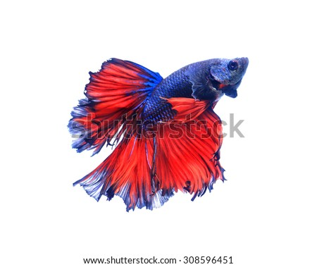 Red and blue half moon butterfly  siamese fighting fish, betta fish isolated on black background. - stock photo