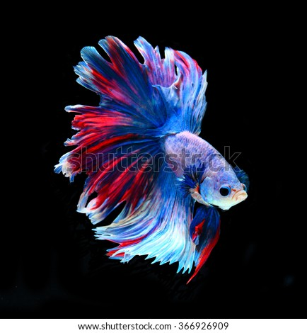 Stock images royalty free images vectors shutterstock for Fighting betta fish