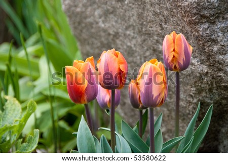 Red and blue tulips against a stone. Shallow depth of field.