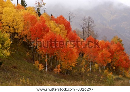 Red and gold aspen - stock photo