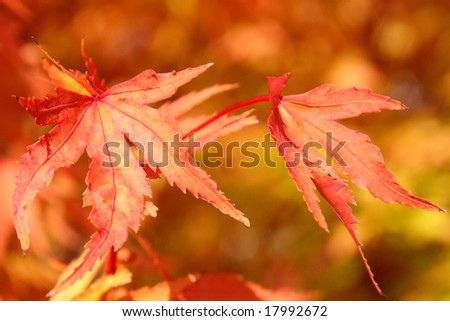 Red and gold autumn leaves changing color - stock photo