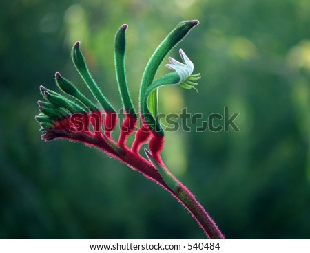 Red and Green Australian Kangaroo Paw - Western Australia's floral emblem - stock photo