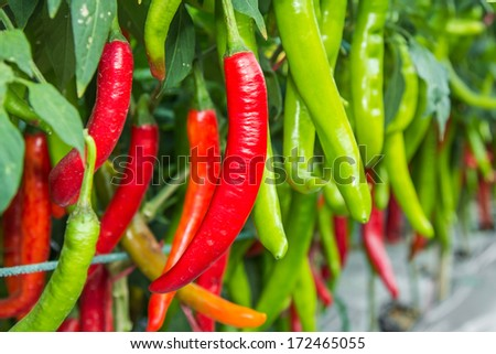 Red and green chilies growing in a vegetable  garden. Ready for harvest. - stock photo