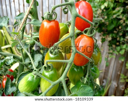 red and green floridity Tomatoes