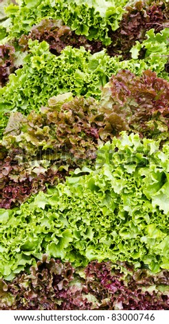 Red and green leaf lettuce on display at the farmer's market - stock photo