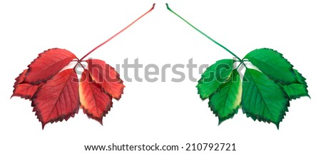 Red and green leafs. Isolated on white background - stock photo