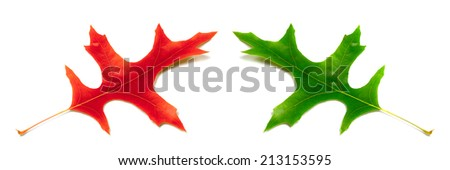 Red and green leafs of oak isolated on white background - stock photo
