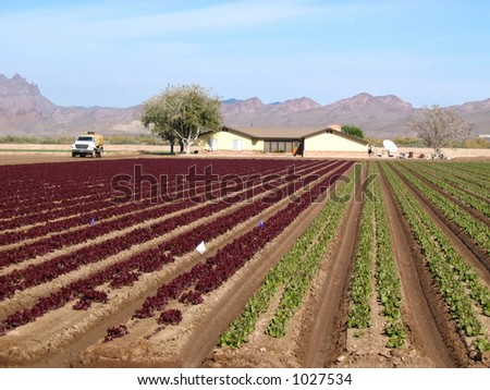 red and green lettuce crop growing in field in Arizona - stock photo