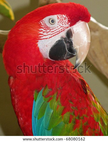 Red-and-green Macaw, Ara