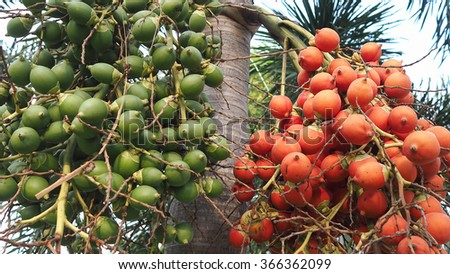 Red and green of bunch of betel nuts on tree. Bunch of green and red ripe tropical Betel Nut or Areca palm Catechu on tree. - stock photo
