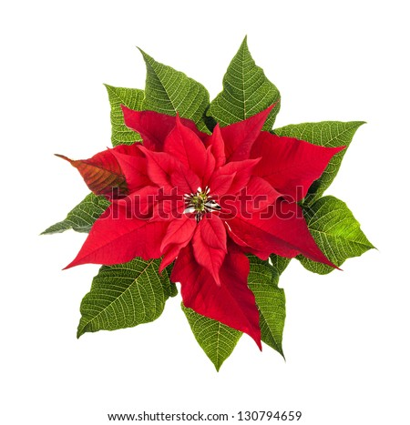 Red and green poinsettia plant for Christmas isolated on white background from above - stock photo