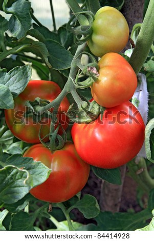 red and green tomatoes in hothouse - stock photo
