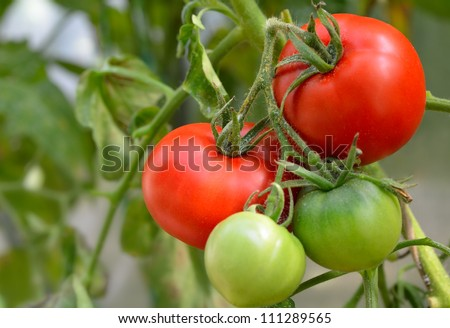red and green tomatoes in the garden - stock photo