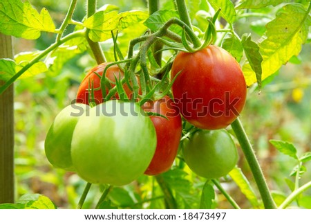 Red and green tomatoes on the vine. - stock photo