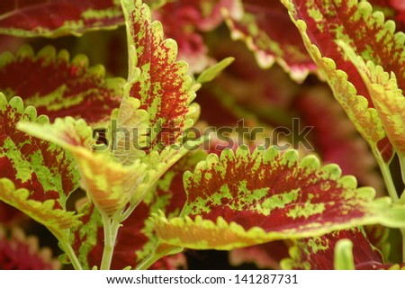 Red and Green Variegated Coleus