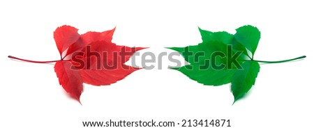 Red and green virginia creeper leaves. Isolated on white background - stock photo