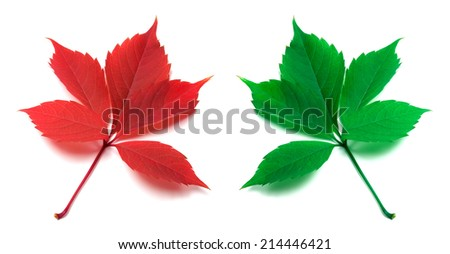 Red and green virginia creeper leaves isolated on white background - stock photo