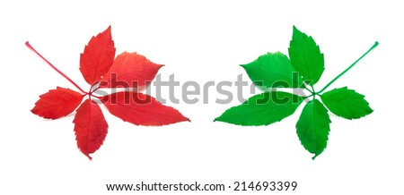 Red and green virginia creeper leaves. Isolated on white background. Close-up view. - stock photo