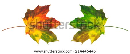 Red and green yellowed maple-leafs. Isolated on white background - stock photo