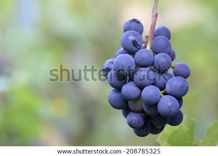 Red and natural grapes in vineyard, wine business - stock photo