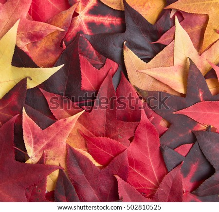 Red and Orange Autumn Leaves Background/ Top view/ Close-up