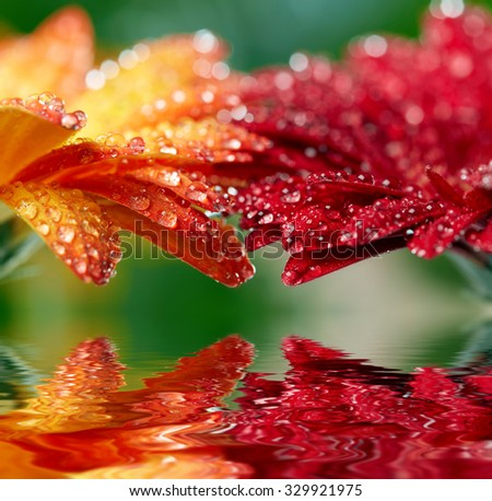 Red and orange daisy gerbera reflecting in the water. Shallow DOF - stock photo
