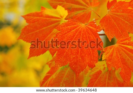 Red and orange fall maple tree leaves close up on the autumn background.