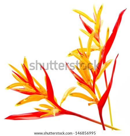 Red and orange Heliconia flower, Heliconia psittacorum 'Rubra', tropical flower isolated on a white background - stock photo