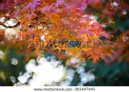 Red and orange maple leaf in mid autumn Japan. background