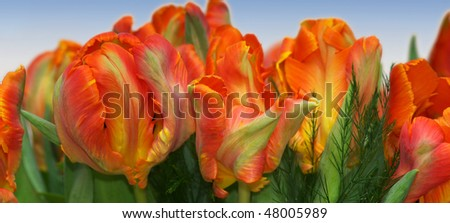 Red and orange tulips against a blue sky