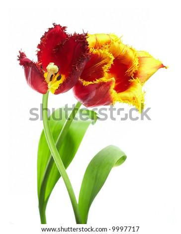 red and orange tulips on white - stock photo