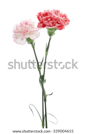Red and pink carnations on white background