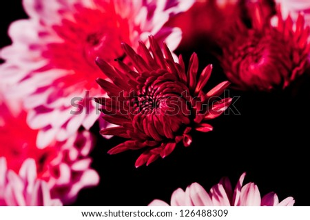 Red and pink chrysanthemums on a black background. - stock photo