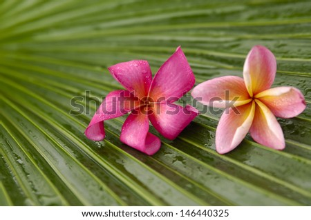 Red and pink frangipani on wet palm leaf - stock photo