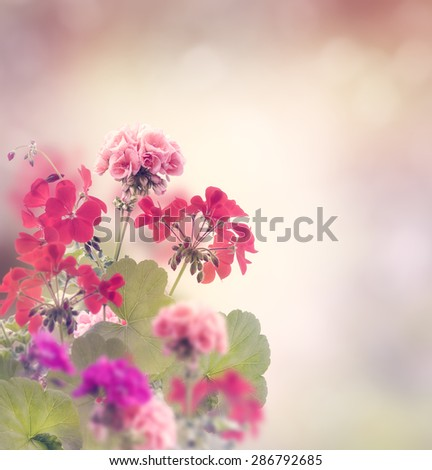 Red And Pink Geranium Flowers - stock photo