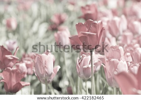Red and pink tulips in a garden - stock photo