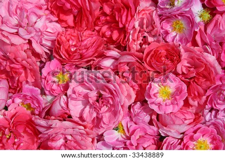 red and pink wild roses - stock photo