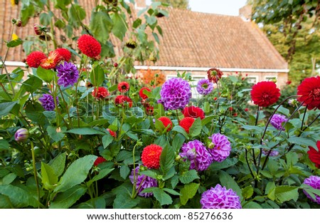 Red and purple dahlia's in a garden. - stock photo