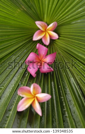 Red and two pink frangipani on palm leaf - stock photo