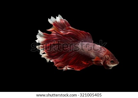 Red and white betta splendens (Halfmoon betta ) isolated on black background - stock photo