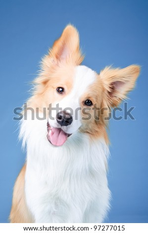 Red and white border collie in studio - stock photo