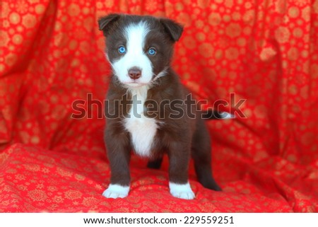Red and white Border Collie puppy standing alert on red and gold snowflake background - stock photo
