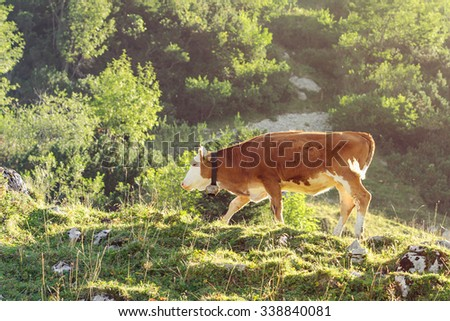 Red and white calf of Hereford breed cattle grazing on sunlit hillside of Alps. Toned and filtered photo with warm summer lighting. - stock photo