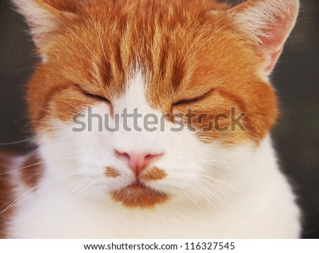 red and white cat, sleeping, close-up, 13