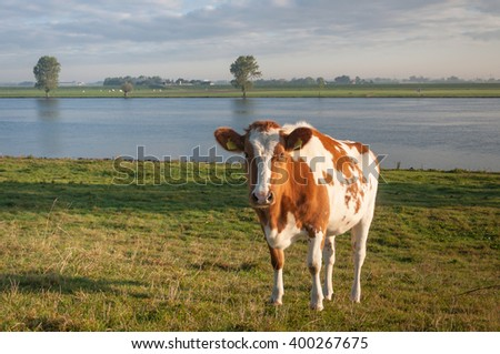 Red and white cow on the banks of a river in the Netherlands on a sunny day in the fall season. - stock photo
