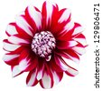 red and white dahlia isolated on white background - stock photo